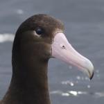 short-tail albatross